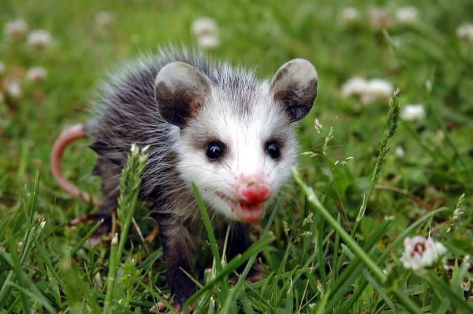 Can you Shoot a Possum in your Backyard? What to Know 2020