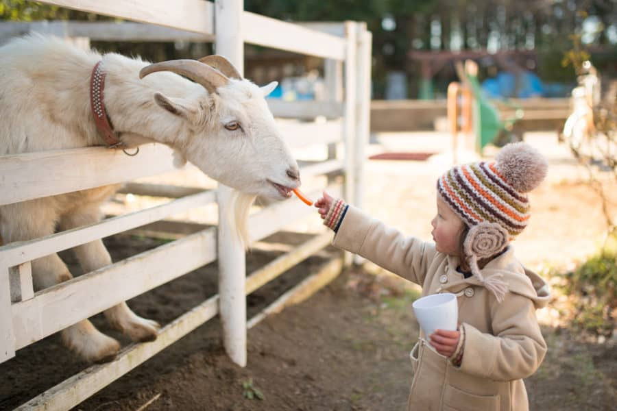 Natural Wood Slat Goat Fence