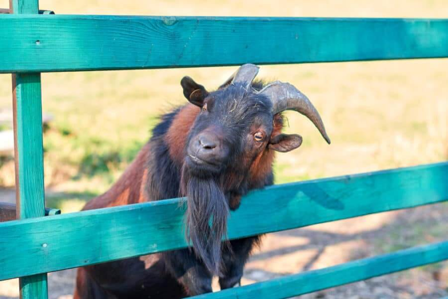 Painted Goat Fence