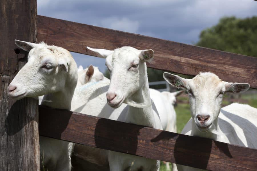 Slanted Goat Fence