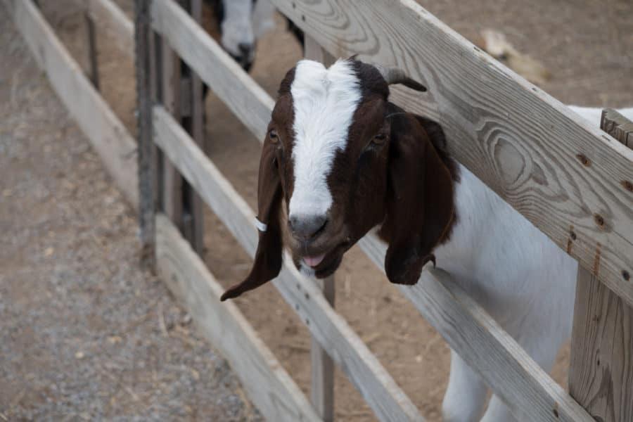 Solid Log Goat Fence