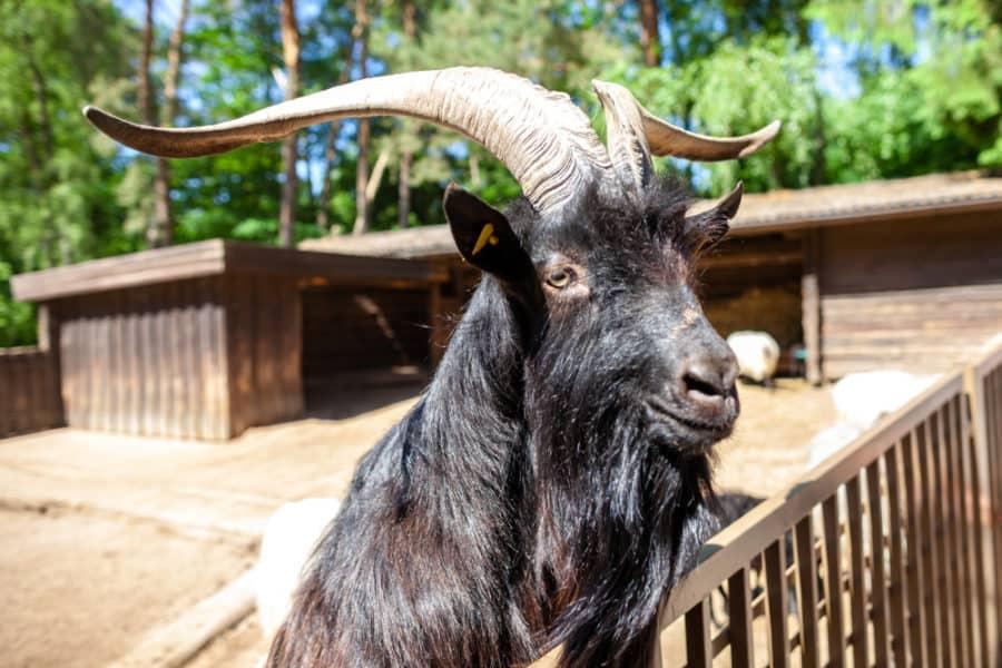 Wrought Iron Goat Fence
