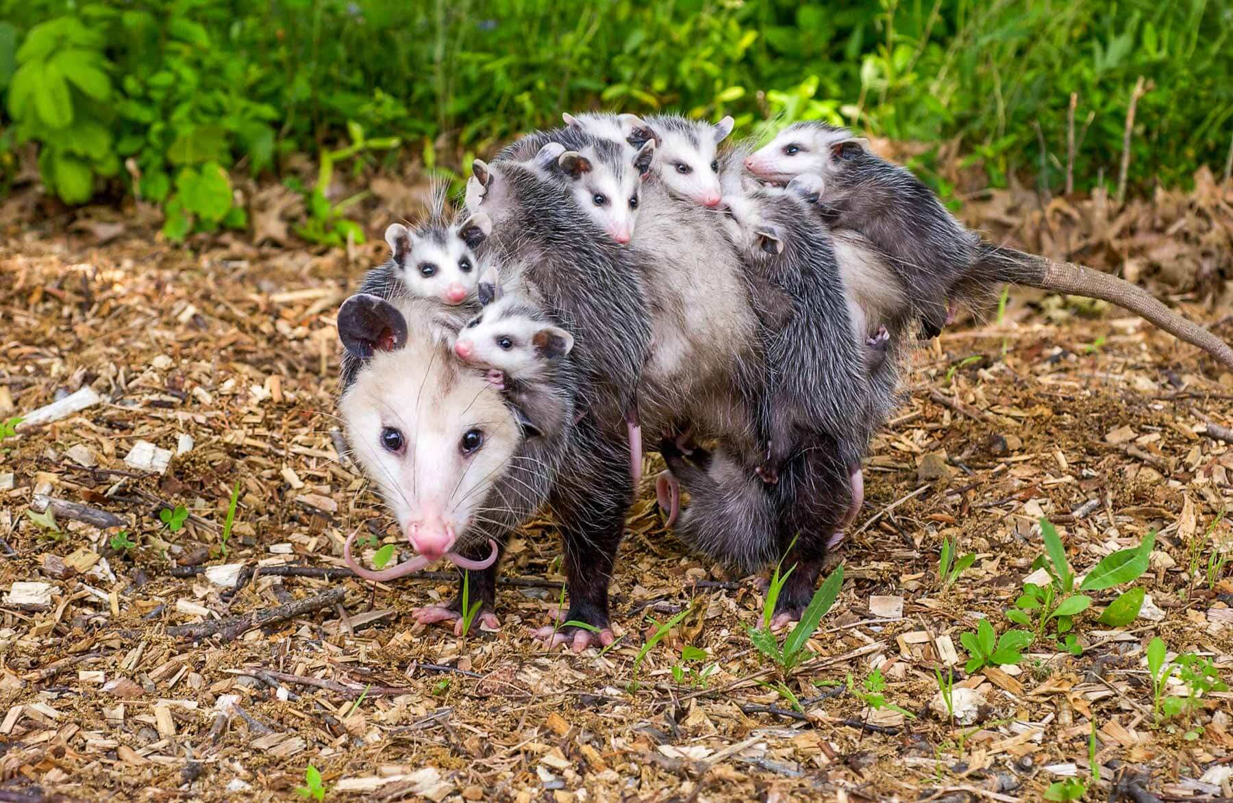 Shoot a Possum in your Backyard