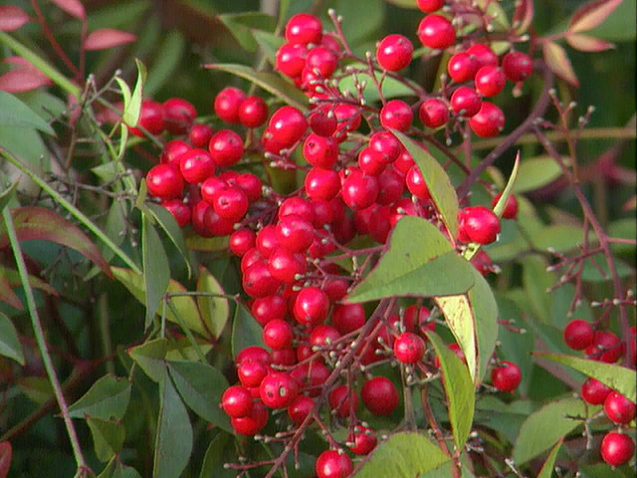 26 Types of Red Berries Growing on Trees and Shrub