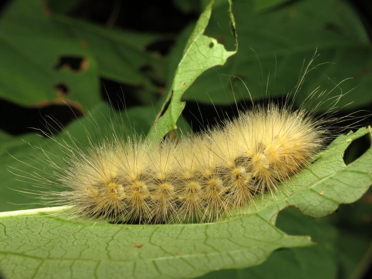 Furry Caterpillars: An Identification Guide