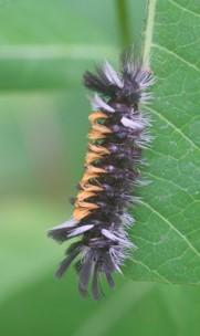 Milkweed Tiger Caterpillar