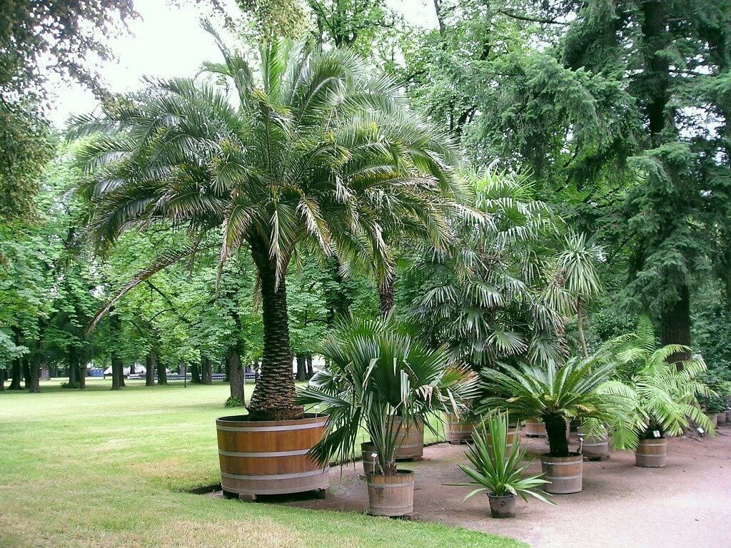 Top 18 Small or Dwarf Palm Trees [with Identification Pictures]