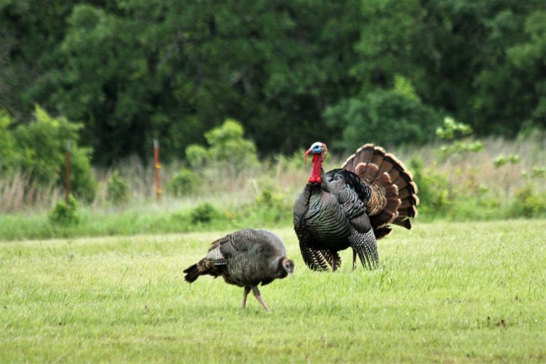 Turkey Hunting; How to tell the difference between Jake and Long Beard