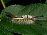 White-Marked Tussock Moth Caterpillar