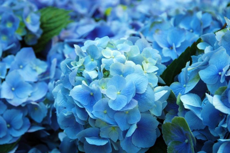 30 Most Beautiful Blue Flower Names with Pictures
