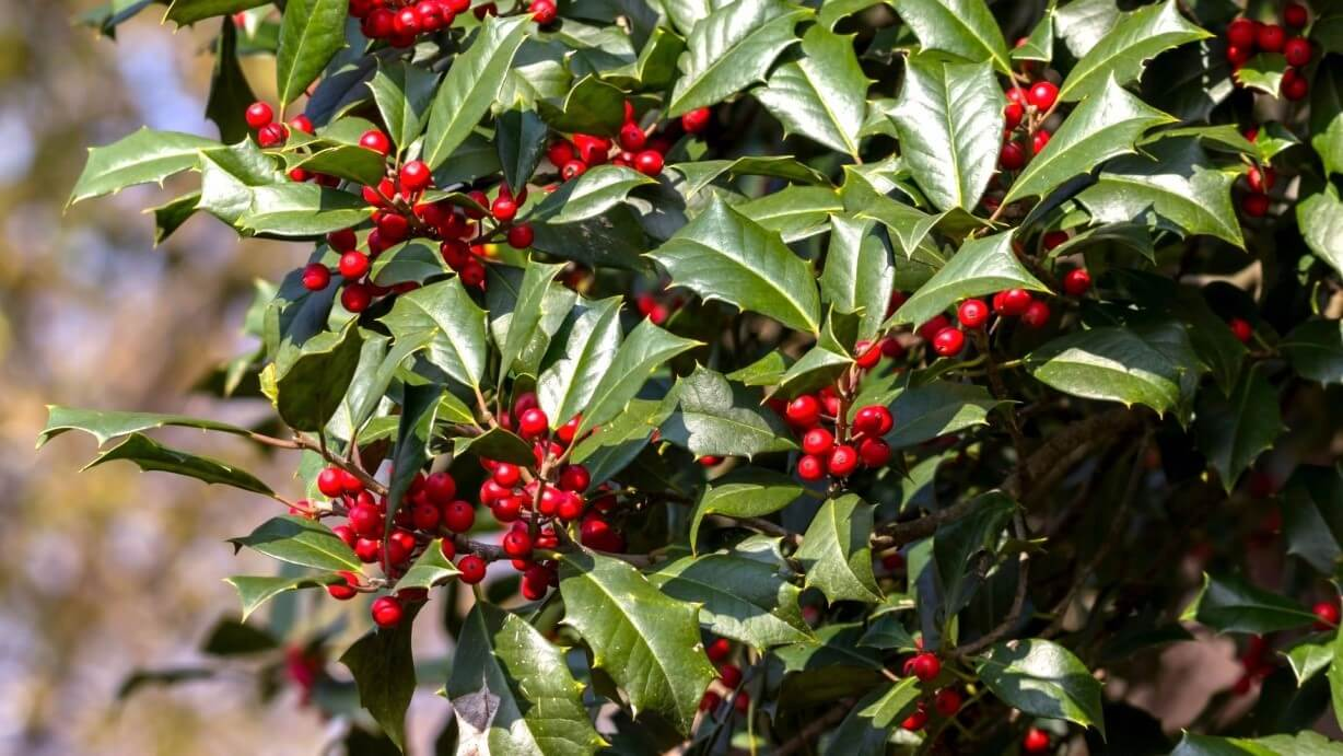 American Holly Tree