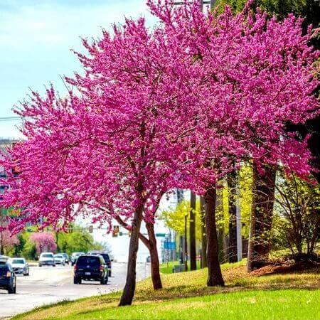 American Redbud Trees