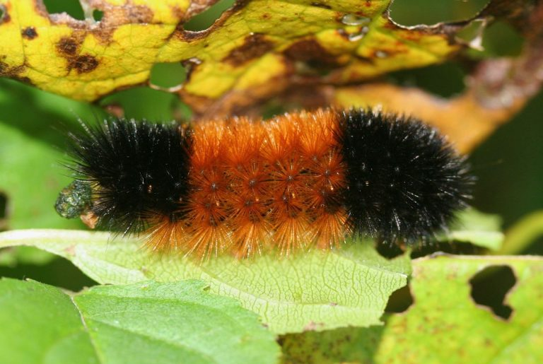 Black Caterpillar Identification and Pictures (with Fuzzy Caterpillars)