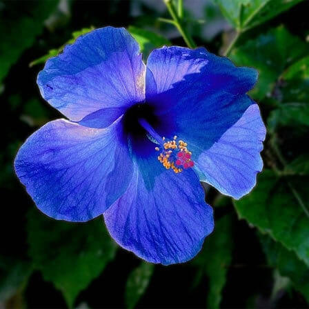 Blue Hibiscus Flower