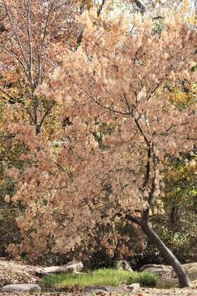 Boxelder Maple Tree