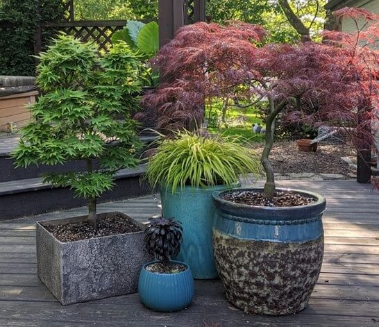 Buy Japanese Maple Trees