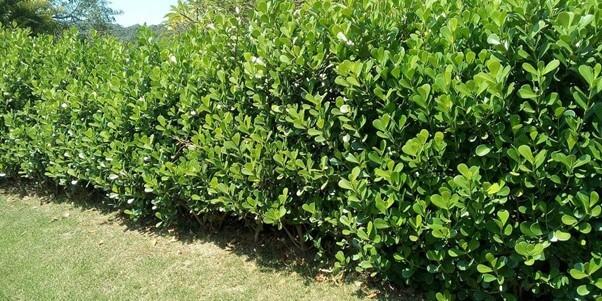 Clusia Hedge (Guttifera) Care