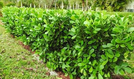 Clusia Hedge (Guttifera)