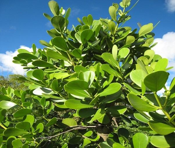 Clusia Tree (Rosea)