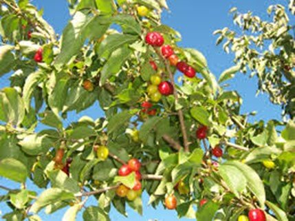 Cornellian Cherry Dogwood
