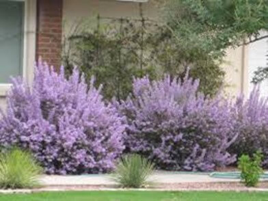 Desert Sage Plant