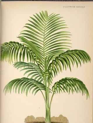 Dwarf Majesty Palm