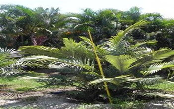 Dwarf Sugar Palm (Arenga engleri)