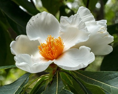 Franklin Tree Flower