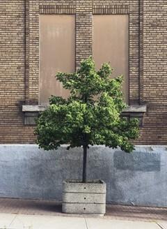 Freeman Maple Tree