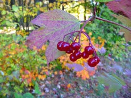 High Bush Cranberries
