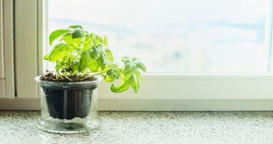 Holy basil Plant
