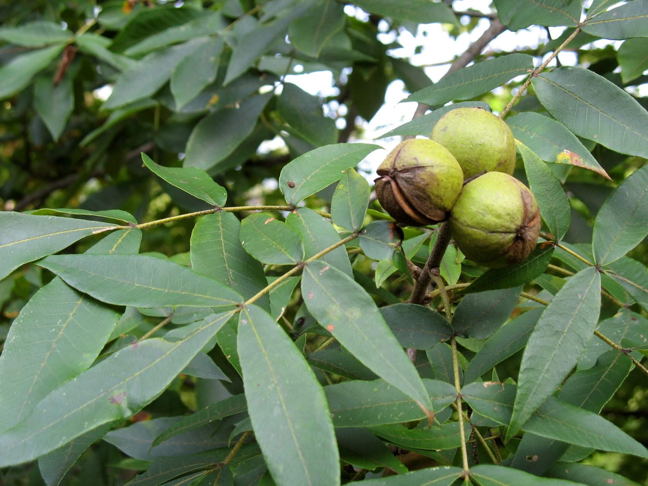 How to Crack Hickory Nuts (Good Uses of Them)?