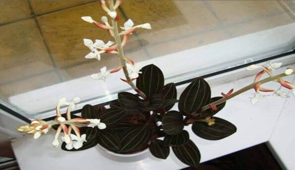Jewel Orchids