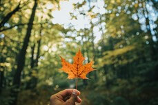 Leaves of Maple Trees
