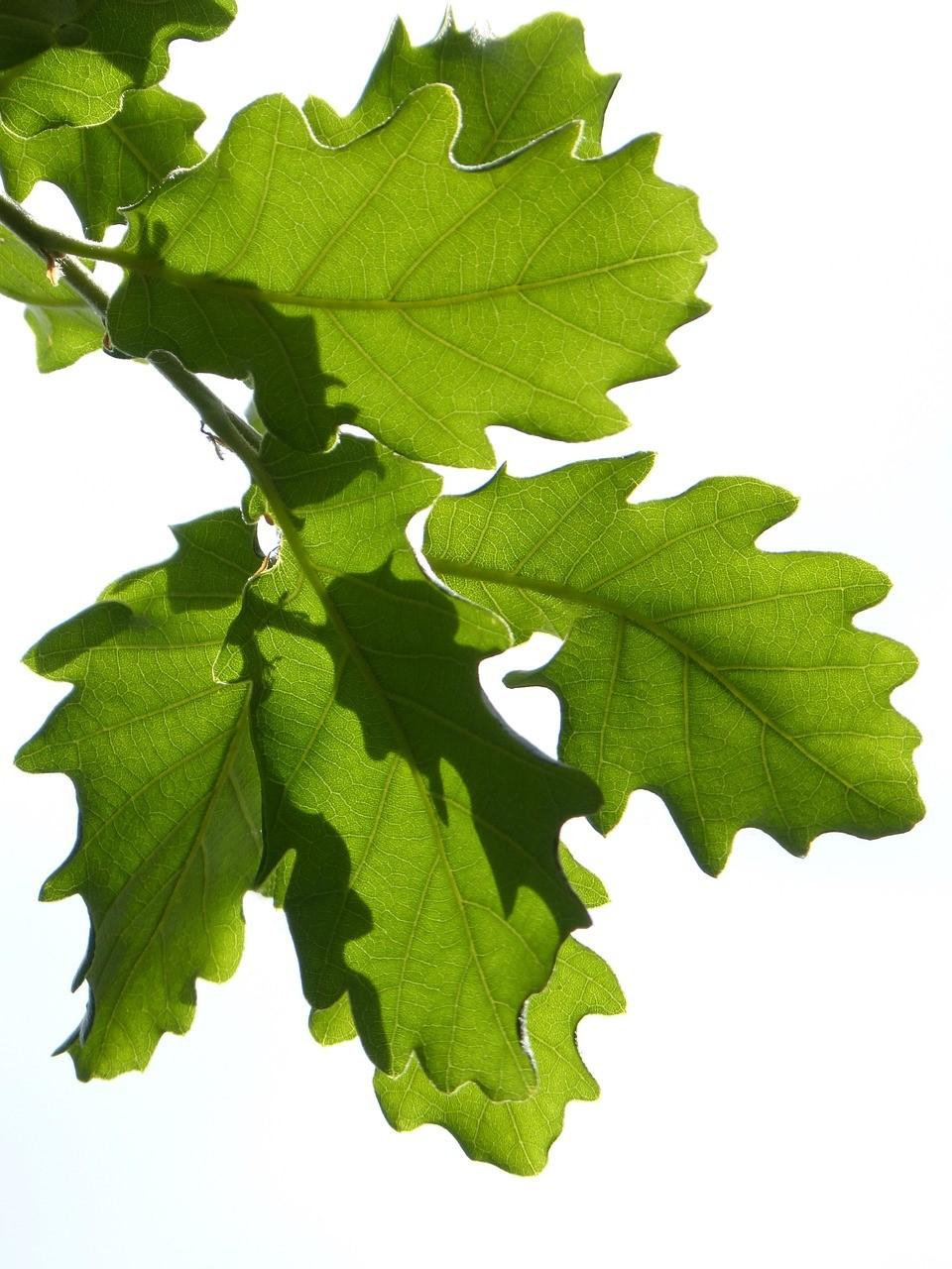 Leaves of Oak Trees