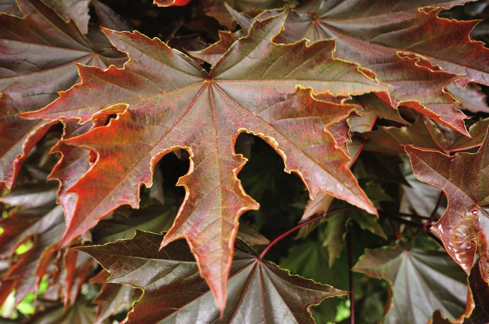 Maple Trees: Types, Leaves, Bark – Identification Guide (Pictures)