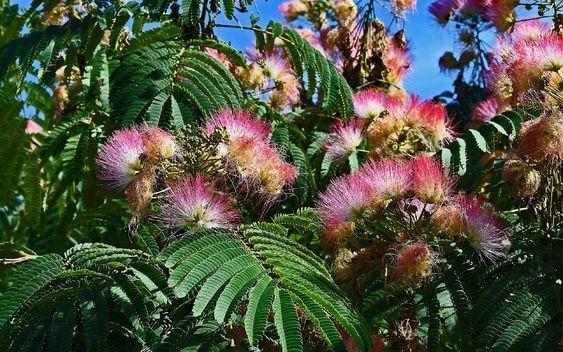 Persian Silk Trees