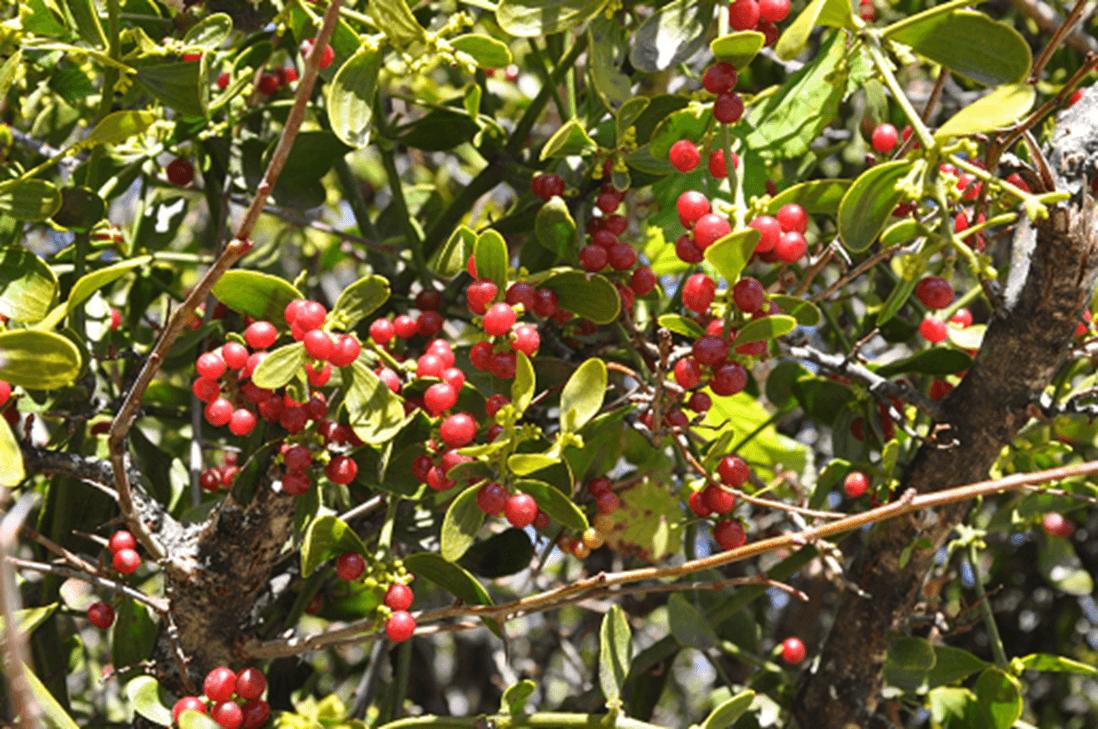 Red Berry Mistletoe