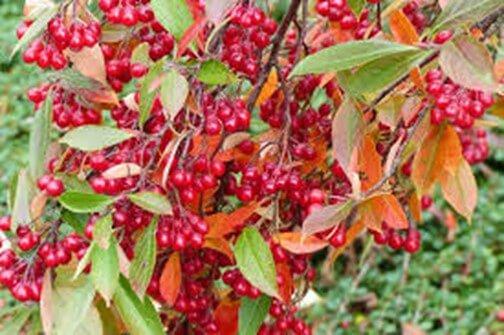 Red Chokeberry Bush