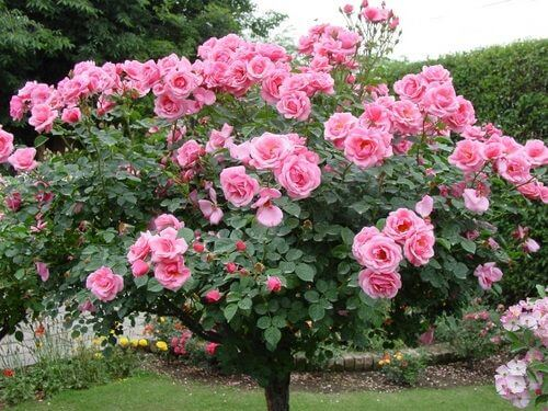 Rose Trees