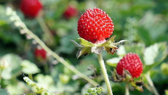 Snake Berries