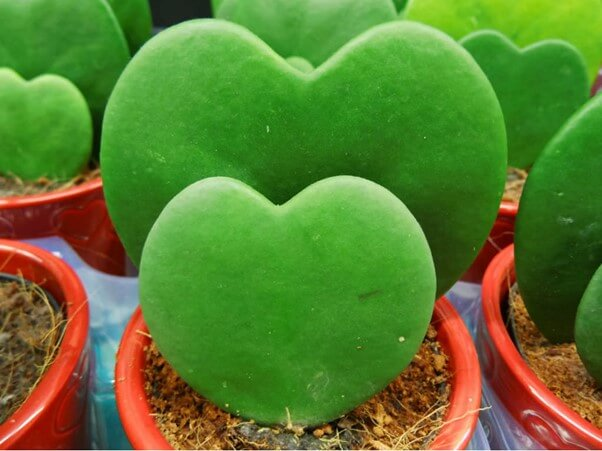 Sweetheart Hoya