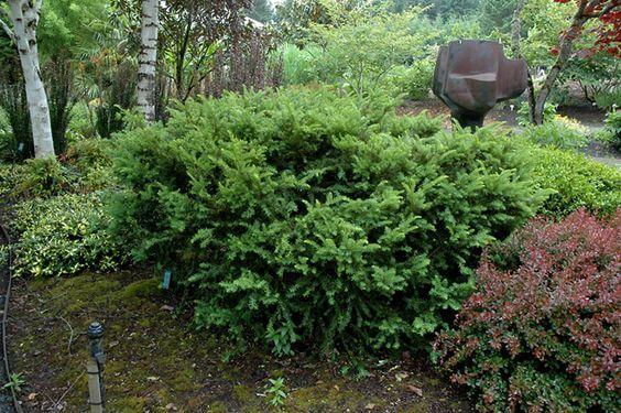 Taunton Spreading Yew