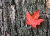 The bark of Maple Tree
