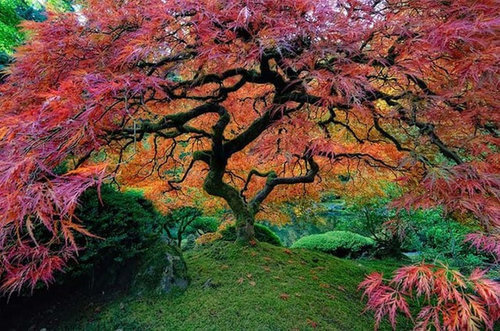 Trimming Japanese Maple Trees: Top 14 Tips for Pruning Japanese Maples