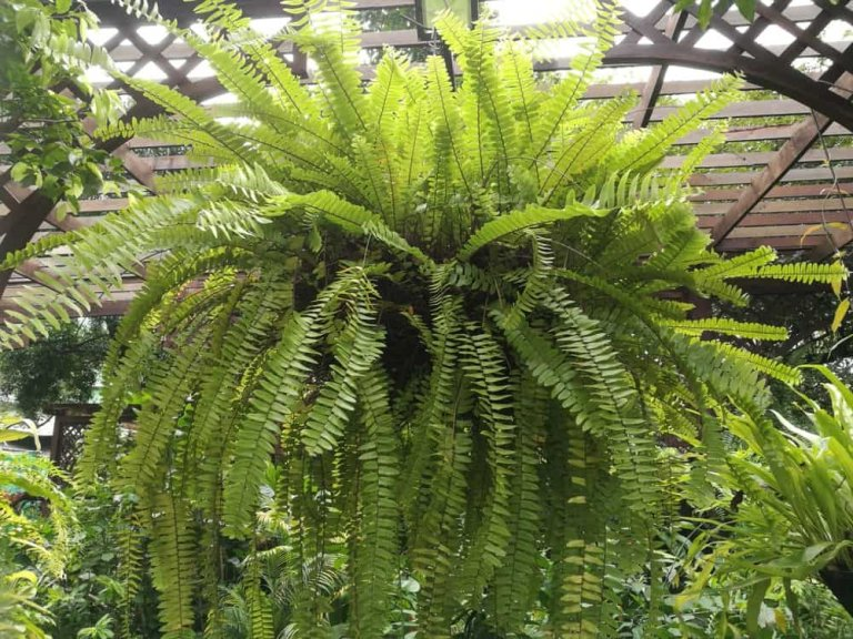 Types of Ferns: Varieties of Indoors and Outdoors Fern Plants