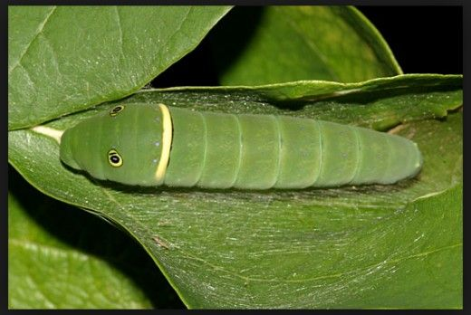 Types of Green Caterpillars with Identification Guide and Pictures