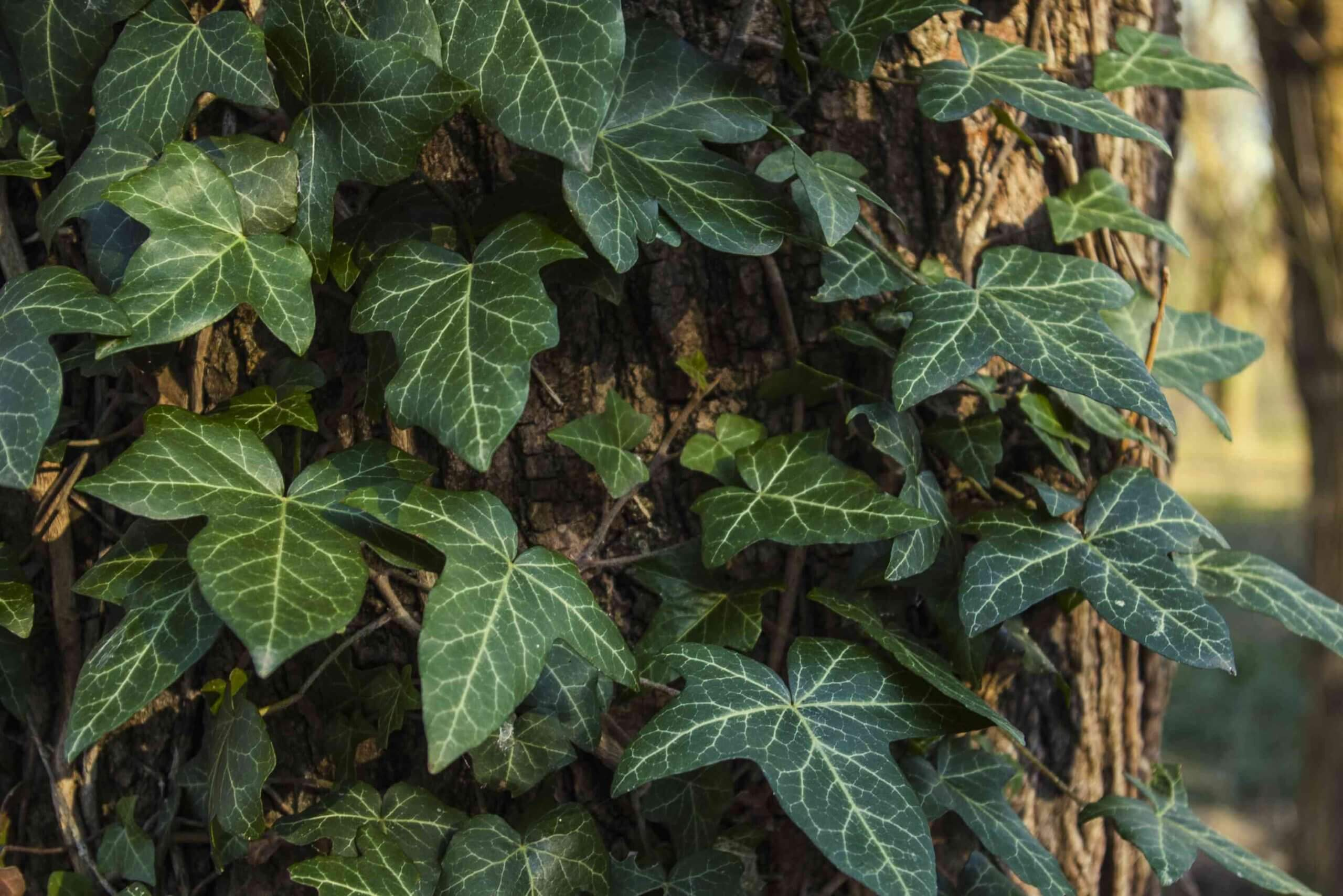 Types of Ivy: Different Types of Ivy Plants for Outdoors and Indoors (With Pictures)