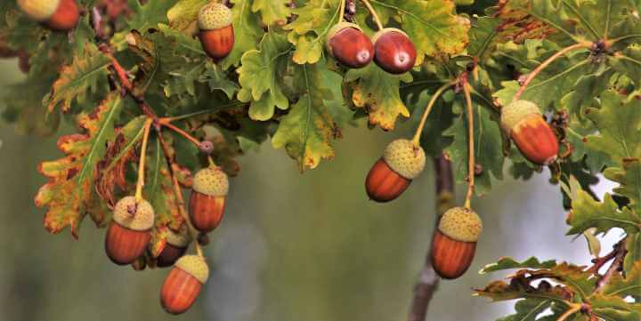 Types of Oak Trees with their Bark and Leaves: Identification Guide