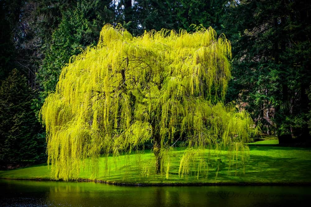 Types of Willow Trees and Shrubs